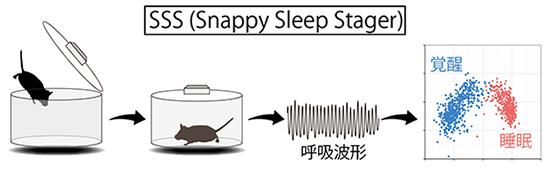 日本理化学研究所生命系统研究中心上田泰己团队主任率领的研究团队近日发布消息称,该团队开发了可在短时间内制作特定基因遭到破坏的小鼠的Triple CRISPR法。此外该团队说,他们还开发了能够简便地通过呼吸模式来解析与精神疾病相关的睡眠状态的SSS(Snappy Sleep Stager)法。 通过改变或破坏特定基因来观察生命现象如何变化的方法,同以往的遗传学和基因机能解析法采用的方法方向相反,因此被称为反向遗传学(reverse genetics)。然而这种方法极其容易使人理解特定基因与生命现