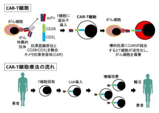 kj克隆_日本阪大动物验证血癌全新免疫细胞治疗成功 - 客观日本