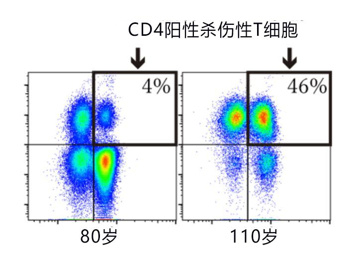 日本发现110岁以上超长寿者携带特殊T细胞