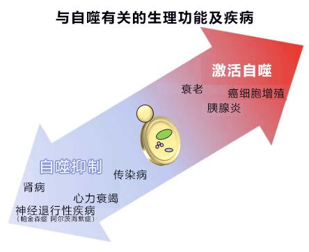 日本证明中药四逆散能防止细胞自我分解